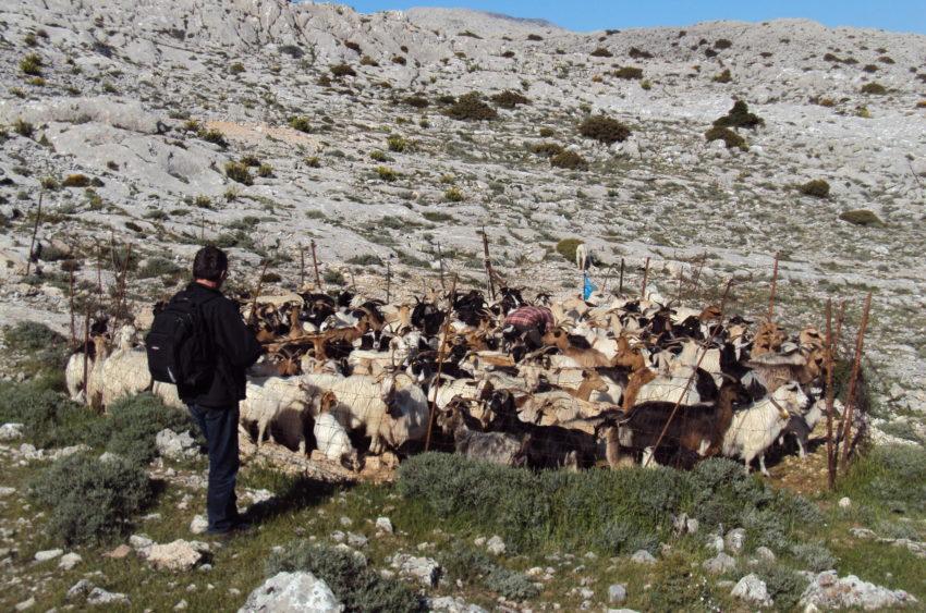Mungitura capre